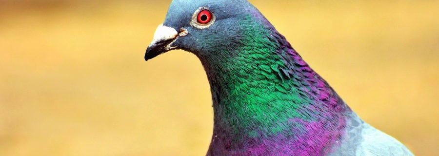 metal, metalzangers, vogels, vogeltjes, Duif, Licentie Publiek Domein, Bron Pixnio